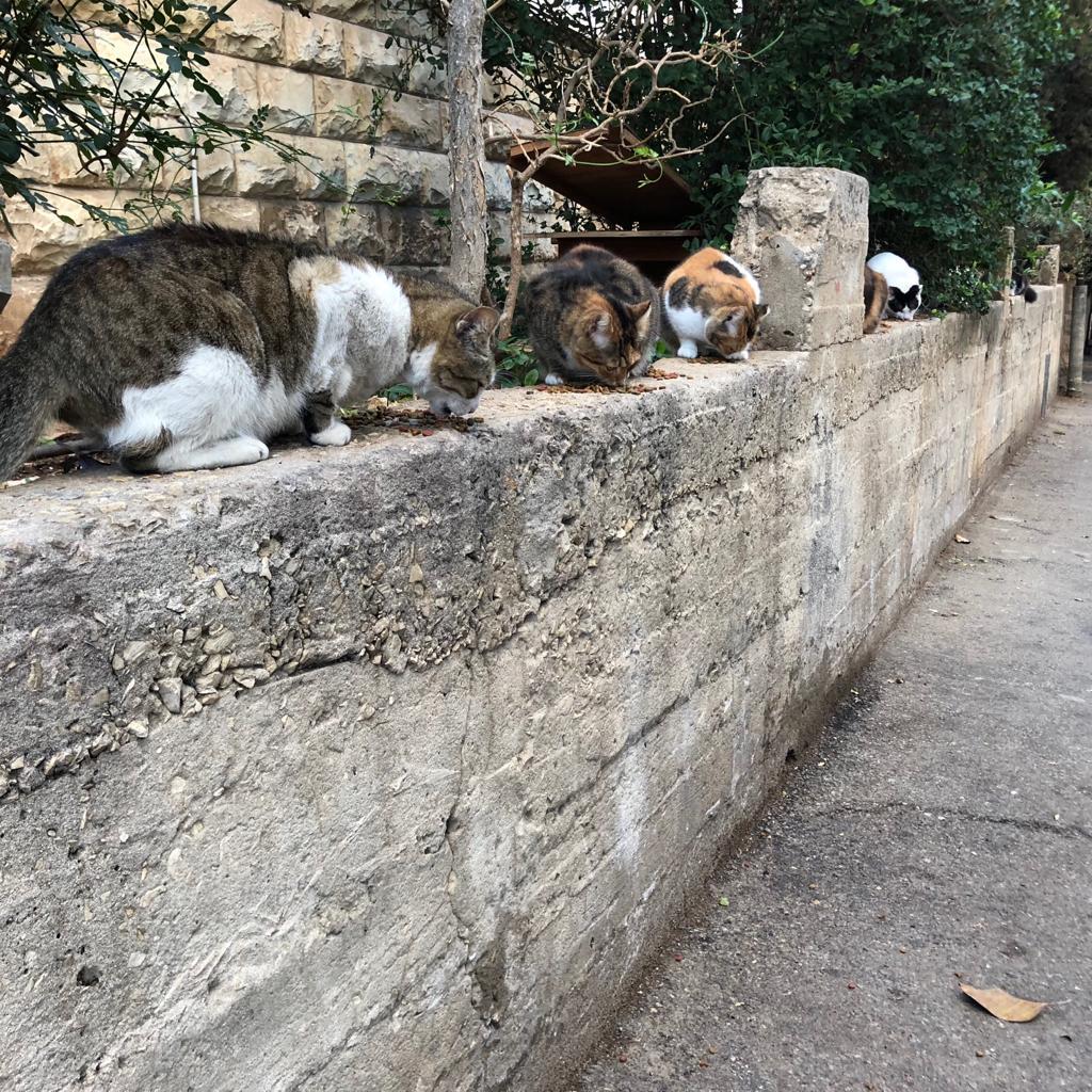 מבצע נרחב לעיקור וסירוס חתולי רחוב ברחבי חיפה